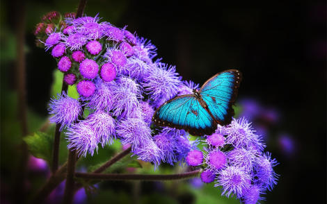 blue-butterful-on-purple-flower